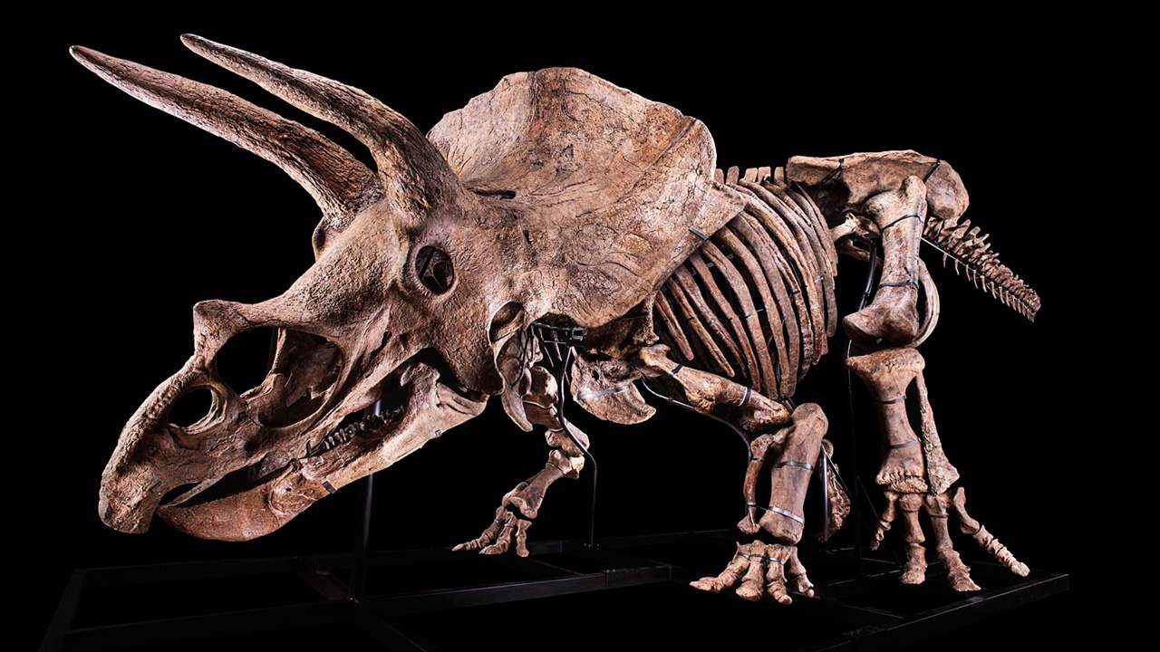 The skeleton of the world's biggest Triceratops for sale... 10 potential buyers for $1.7M
